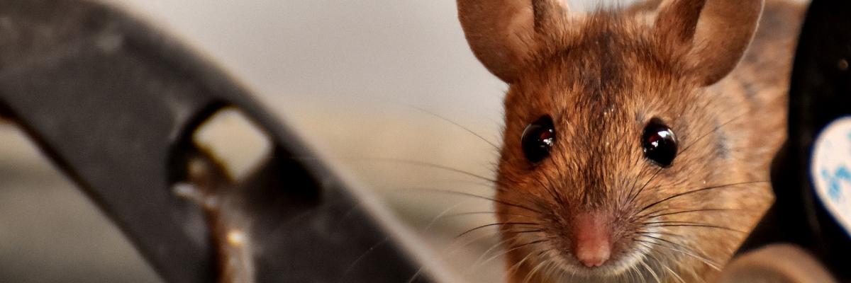 Myši a nadcházející rok Kovové Krysy